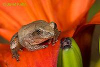 0808-0906  Spring Peeper Frog Climbing on Red Lily, Pseudacris crucifer (formerly: Hyla crucifer)  © David Kuhn/Dwight Kuhn Photography