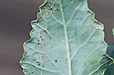 Kohlrabi infested with cabbage aphids and cabbage whitefly, early August. These pests are common to all brassicas, not just kohlrabi.