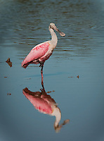 Roseate Spoonbill standing in the water on one leg with reflection visible in vertical format