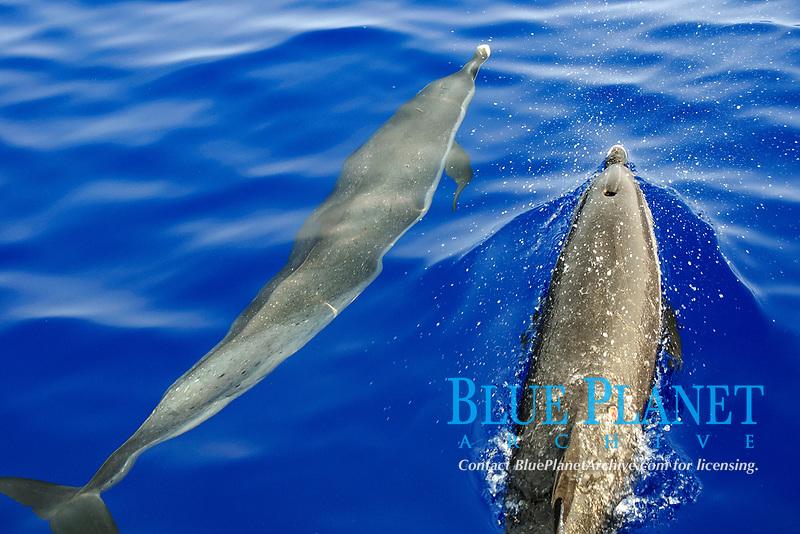 Pantropical spotted dolphin, Stenella attenuata, bow riding near the surface , Kailua-Kona Coast, Big Island, Hawaii, USA, Pacific Ocean