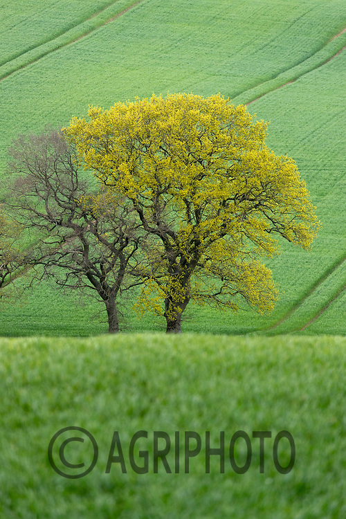 12-5-2021 Trees in a field of Winter wheat<br /> ©Tim Scrivener Photographer 07850 303986<br />      ....Covering Agriculture In The UK....