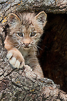 Canada Lynx Kitten peering out of a hollow log - CA