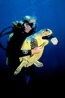 marine biologist ascending with a newly captured (cr) hawksbill sea turtle, Eretmochelys imbricata, off the deep reefs of Barbados, West Indies, Caribbean, Atlantic Ocean