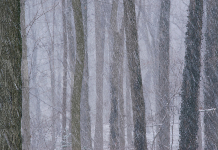 Forest snow storm.