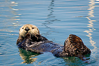 sea otter (southern), Enhydra lutris nereis, (horizontal image), otter is grooming, holding paws to mouth, eyes open, white furry face, floating in beautifully colored water from reflections of boats in Monterey Bay National Marine Sanctuary harbor, California