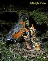 RO03-001z - American Robin - feeding young a caterpillar - Turdus migratorius
