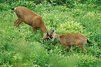 Two young male mule deer (Odocoileus hemionus columbianus) spar in lush subalpine meadow, Paradise Valley, Mount Rainier National Park, Washington State, USA