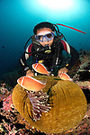 A diver inspects pink anemonefish, Amphiprion perideraion, in a magnificent anemone, Heteractis magnifica, Anilao, Batangas, Luzon, Philippines, Pacific Ocean