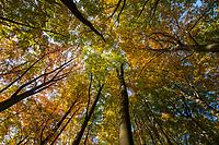Herbst im Buchenwald des Grumsiner Forst, Weltnaturerbe der UNESCO, Angermünde, Uckermark, Brandenburg, Deutschland