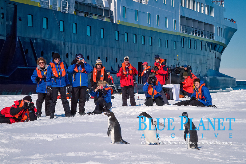 tourists from National Geographic Explorer, observing Adelie penguin, Pygoscelis adeliae, adult, on ice, Antarctic Peninsula, Antarctica, Southern Ocean