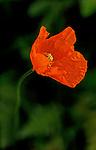 Orange poppy photographed at Hiram Chittendon Government Locks, botanical garden, Seattle, Washington.