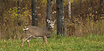White-tailed doe flicking her tail.