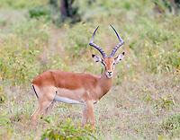 Impala male (Aepyceros melampus), Lake Nakuru National Park, Kenya