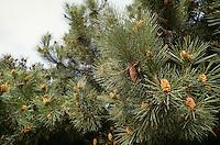 Strand-Kiefer, See-Kiefer, Stern-Kiefer, Strandkiefer, Seekiefer, Sternkiefer, Bordeaux-Kiefer, Igel-Kiefer, Meer-Kiefer, Meerkiefer, Seestrand-Kiefer, Kiefer, Pinus pinaster, Pinus maritima, Maritime Pine