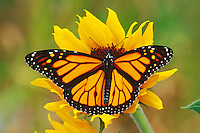 Monarch butterfly (Danaus plexippus) on sunflower, Summer.