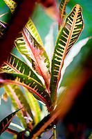 A croton plant in a Wailua Homesteads neighborhood, Kapa'a, Kaua'i.
