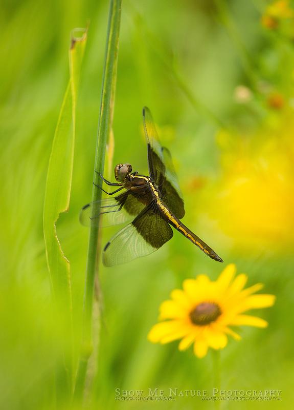 Female Widow Skimmer dragonfly among wildflowers