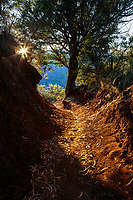 A hiker's morning view of the Kukui Trail that winds through a koa forest and into Waimea Canyon, Kaua'i.