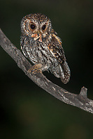 A Flammulated Owl prepares to bring an owlet moth back to his waiting young. Owlet moths and Noctuid moths possess a natural antifreeze in their blood that allows them to fly at sub-freezing temperatures and serve as a critical food item in the early spring on the western mountains, where freezing nights are still possible.