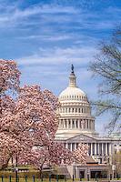 US Capitol Washington DC Magnolia Tree in the Spring