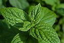 Garden mint (Mentha sachalinensis), early June.