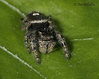 1001-06uu  Jumping Spider - Family: Salticidae - © David Kuhn/Dwight Kuhn Photography