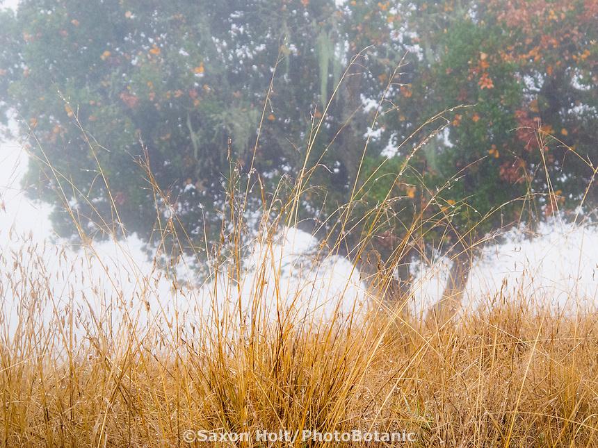 Grasses, Foggy November morning on Cherry Hill, Novato