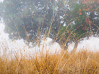 Grasses, Foggy November morning on Cherry Hill, Novato
