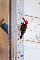 Acorn Woodpecker (Melanerpes formicivorus) storing acorns in the window frame of old ranch house.  CA.  Winter.