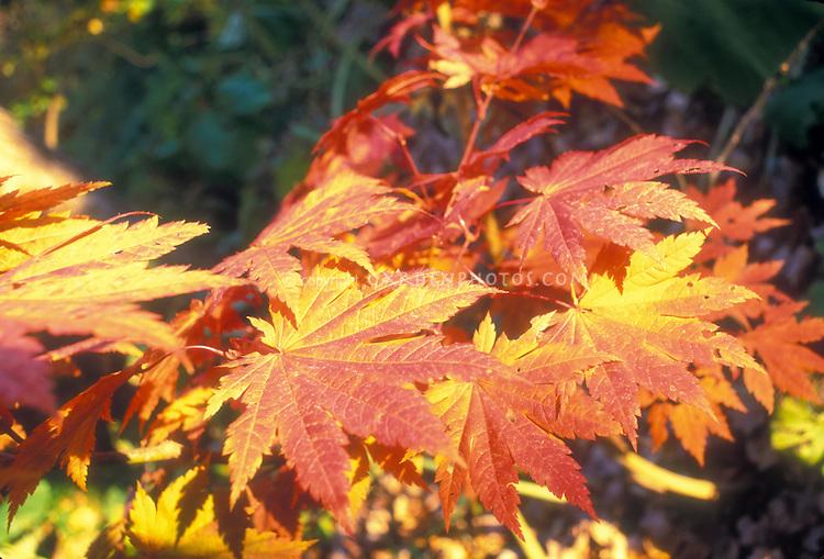 Fullmoon Maple Acer japonicum 'Aconitifolium' in autumn fall leaf color