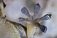 Mauergecko, Fuß, Unterseite mit Haftlamellen, Mauer-Gecko, Gecko, Hausgecko, Tarentola mauritanica, Moorish Wall Gecko, Salamanquesa, Crocodile gecko, European common gecko, Maurita naca gecko