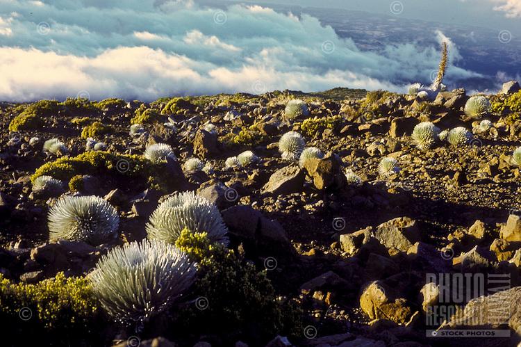 Silversword Argyroxiphium sandwicense, Haleakala National Park