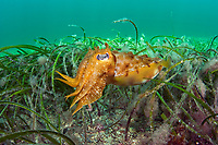 Australian giant cuttlefish (Sepia apama) juvenile, hunts underneath the Port Hughes jetty in the Yorke Peninsula in South Australia.
