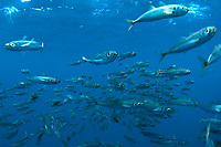 Shoal of Fish, Azores, Northern Atlantic Ocean