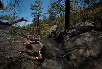 California Mountain Kingsnake - Lampropeltis Zonata - Probably my last as the year grows warmer. I have been lucky enough to see quite a few in the short time I've been looking for them. A very special snake.