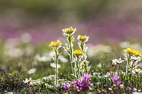 Glacier avens, mountain aven and lapland rosebay blossom on the tundra in the Arctic, Alaska.