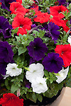 PETUNIA MIX SUNCATCHER RED, WHITE, AND MIDNIGHT BLUE