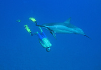 Snorkelers and Spinner Dolphin; Stenella longirostris