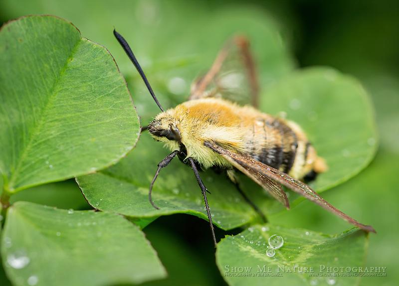 Clearwing Hummingbird Moth on wet clover
