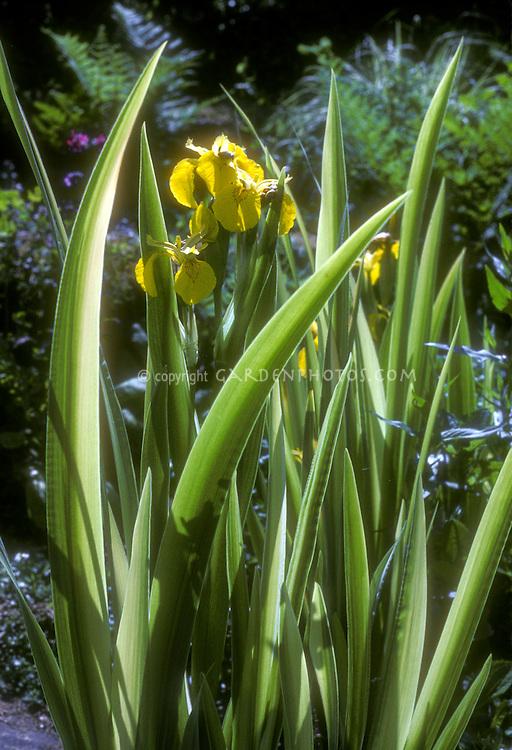 Yellow flowers of Louisiana Iris or yellow Flag Iris pseudacorus 'Variegata'
