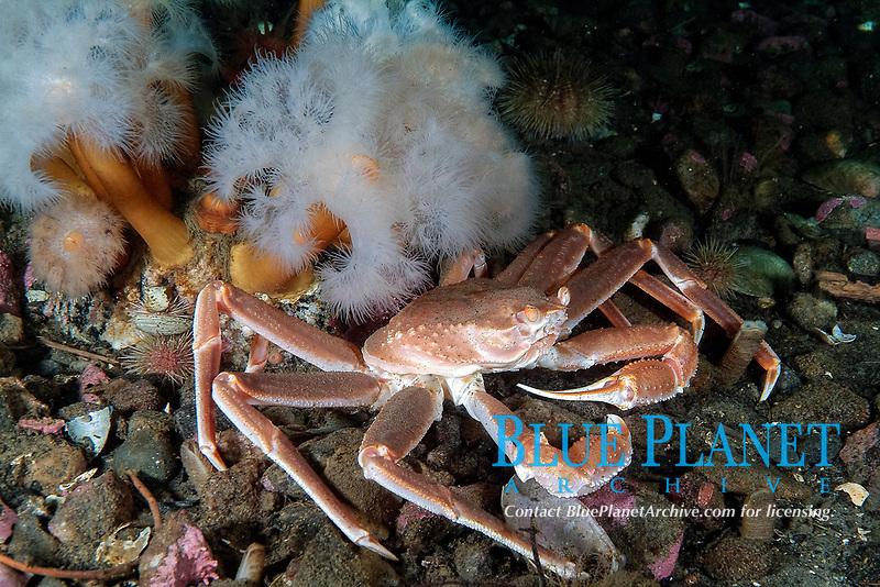 Arctic lyre crab; Toad Crab; Hyas coarctatus; plumose anemone; Metridium senile; Gulf of Saint Lawrence; Quebec; Canada; North West Atlantic