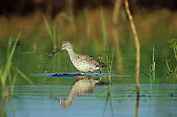 Greater Yellowlegs (Tringa melanoleuca) using small, shallow pond during spring migration stopover.  Pacific Northwest.  April.