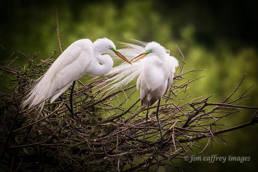 Great Egrets building a nest at Smith Oaks Rookery near High Island, Texas