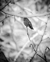 Anna's Hummingbird is perched on end of snow covered tree branch with filtered sunlight in the background with a black & white (B&W) treatment and vignette around frame much like a Holga effect