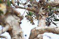 Silvereye, Yuragir NP, NSW, Australia