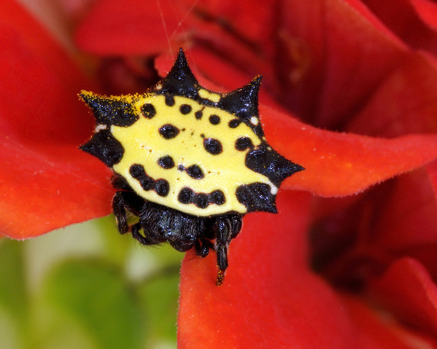 Jewel or Spiny Spider (Gasteracantha cancriformis)