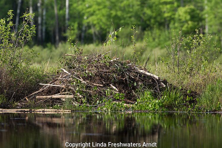North American beaver lodge