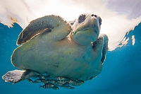 olive ridley sea turtle, Pacific ridley sea turtle, Lepidochelys olivacea, with juvenile pilot fish, Naucrates ductor, Baja California, Mexico, Gulf of California, Sea of Cortez, Pacific Ocean