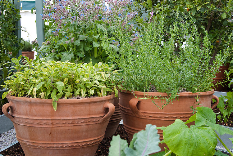Herb garden containers: Salvia culinary sage, Rosemary Rosmarinus, Borage Borago in vegetable garden