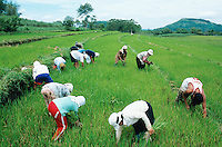 Philippines. Negros Island. Province of Negros Occidental, located in the  Western Visayas region. Barangay (village) La Castellana. A group of farmers, men and women, in circle harvest by hand organic rice in the fields. Terrace cultivation. Rice growing. Sustainable agriculture.  © 1999 Didier Ruef